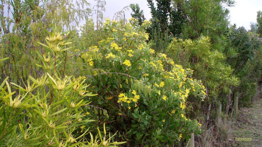 Flowering shrubs in South Africa