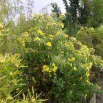 Flowering shrubs South Africa
