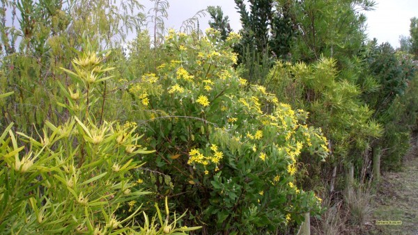 Flowering shrubs in South Africa