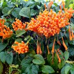 Orange flame or trumpet flower