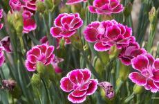 Pink carnation wallpapers