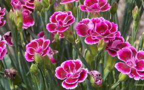 Dianthus caryophyllus carnation flower wallpaper