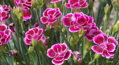 Dianthus caryophyllus carnation flower wallpaper