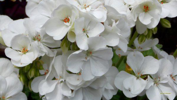 HD background geranium