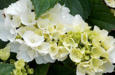 White hydrangea desktop background