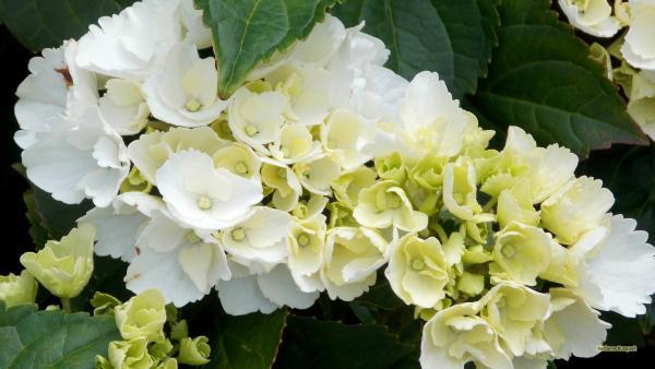 HD wallpaper hydrangea flowers