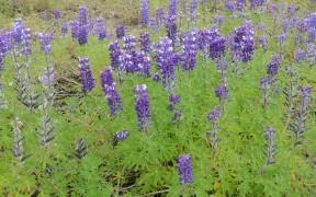 Field with purple Delphiniums