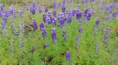 Field with purple Delphiniums