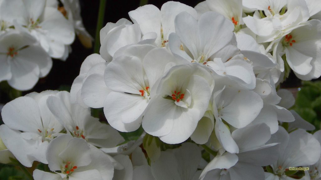 HD wallpaper white geranium flowers