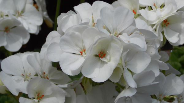 HD wallpaper white geranium flowers