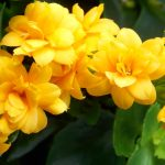 Yellow Kalanchoe wallpapers