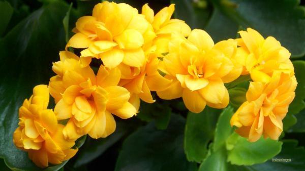 HD wallpaper yellow Kalanchoe flowers