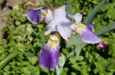 Iris germanica wallpaper