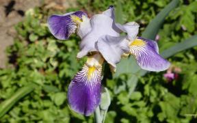 Iris germanica wallpaper