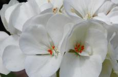 White geranium wallpaper