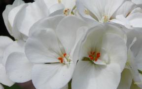 White geranium wallpaper