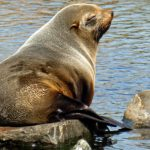 South American Fur Seal