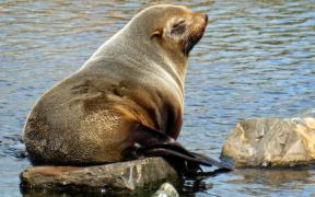Close-up photo South American fur seal
