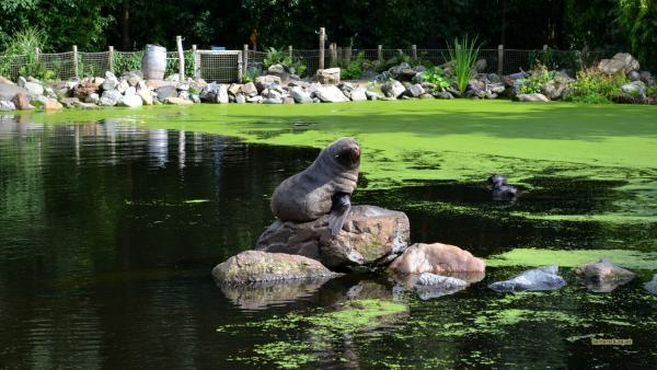 Desktop wallpaper South American fur seal