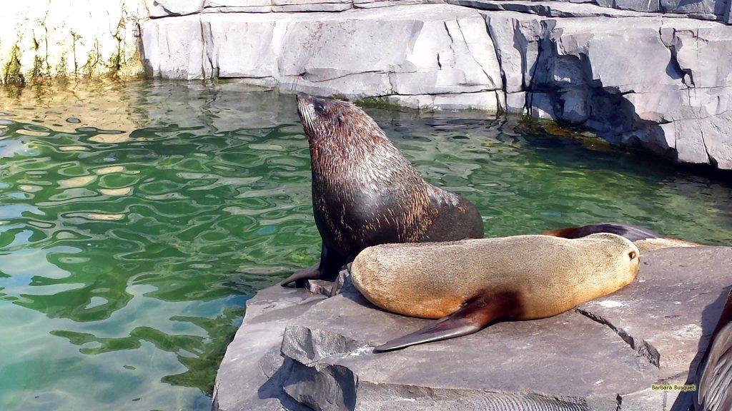 Desktop wallpaper sea lions on rock