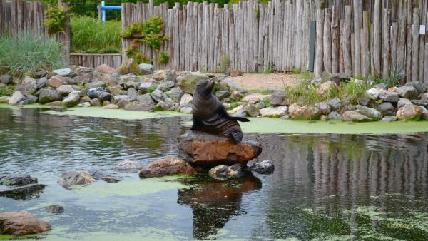 HD wallpaper South American fur seal
