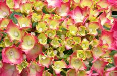 Pink white hydrangea wallpaper