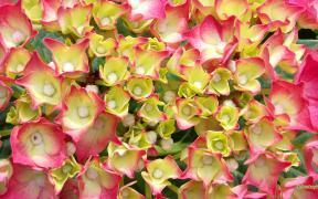 HD wallpaper pink white hydrangea