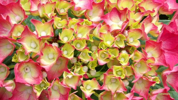 HD wallpaper pink white hydrangea