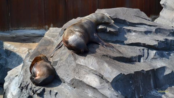 HD wallpaper sea lions