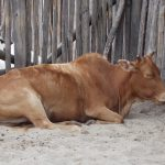 Cattle wallpaper brown cow