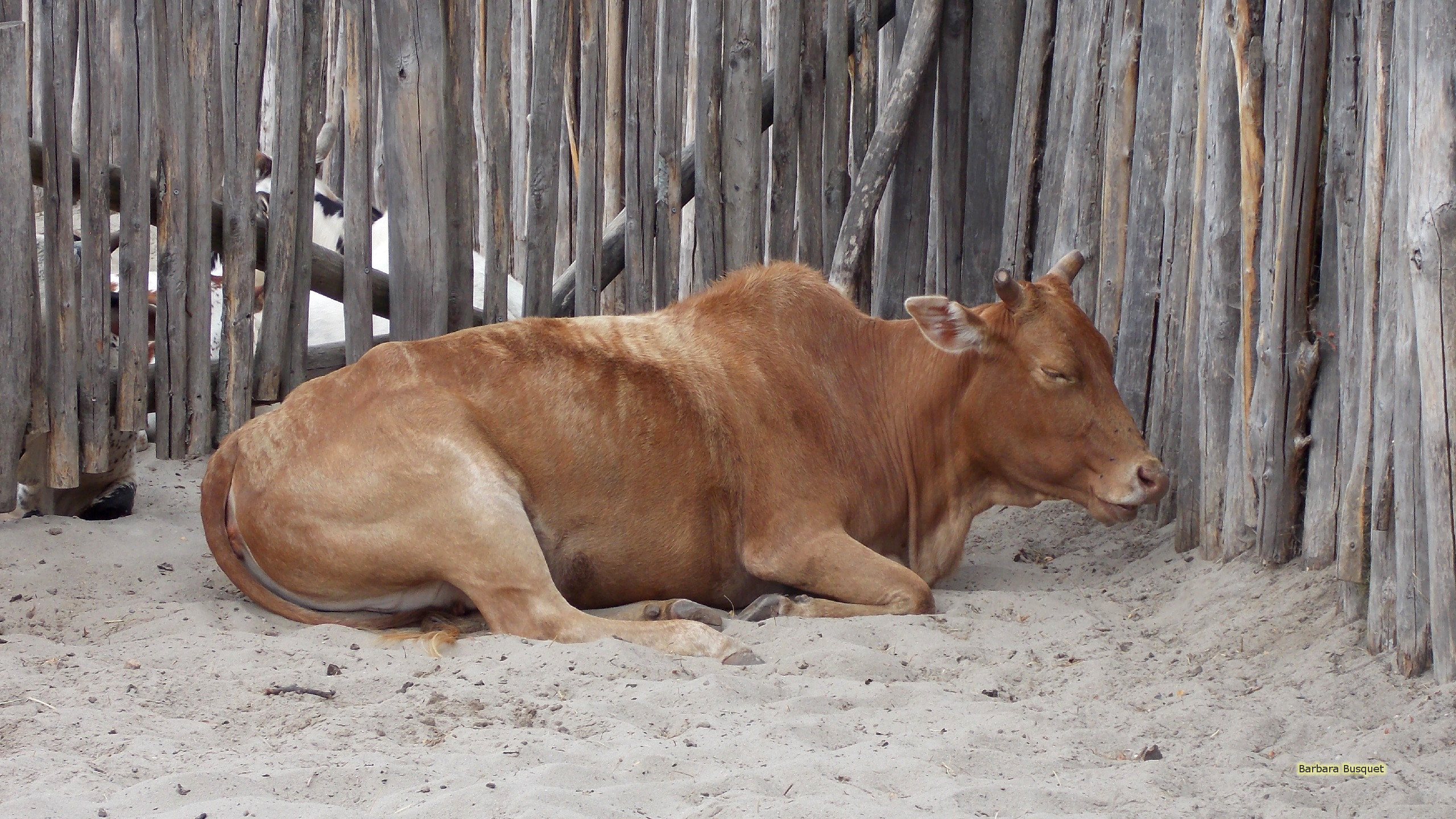 Cattle Wallpaper Brown Cow Barbara S Hd Wallpapers