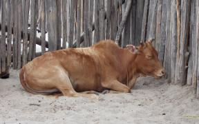 HD wallpaper brown cow in the sand