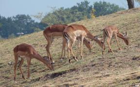 HD wallpaper impalas on hill