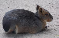Patagonian mara Wallpapers