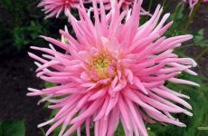 Pink Aster close-up wallpaper
